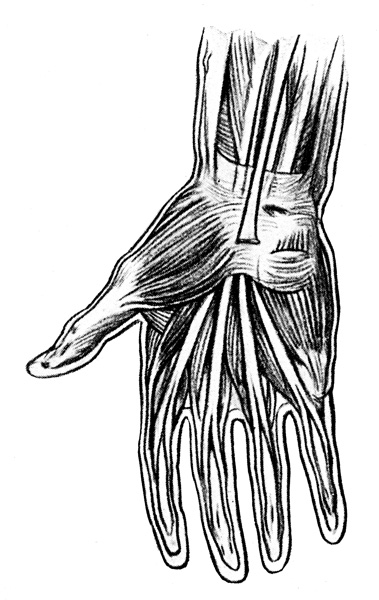 Anatomy of the Hand - Short Muscles of the Hand and Tendons Passing Under the Anterior Annular Ligament