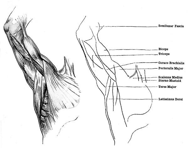 Arm Muscles - The Muscles of the Inner Surface of the Arm and the Armpit