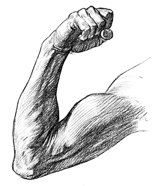 Arm Muscles - The Front and Inner Side of the Upper Extremity