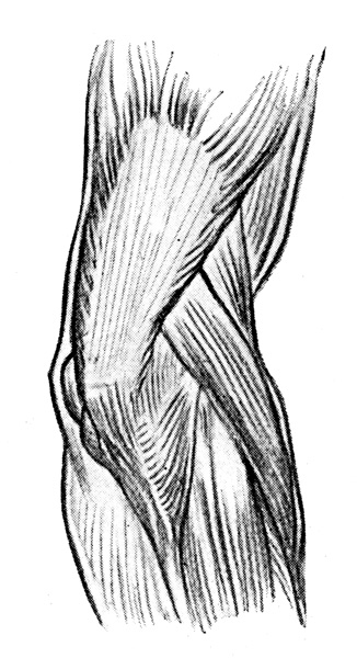 Arm Muscles - The Muscles on the Back and Outer Side of the Right Elbow Joint