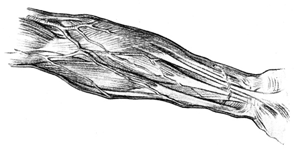 Arm Muscles - The Muscles and Superficial Veins on the Front of the Right Forearm