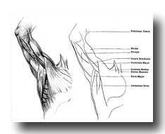 Arm Muscles - The Muscles of the Inner Surface of the Arm and Armpit