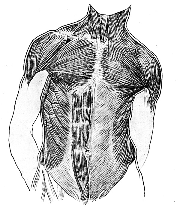 Human Anatomy Muscles - The Muscles on the Front of the Trunk and Neck