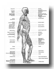 Human Anatomy Muscles - Muscles of the Body - Lateral View