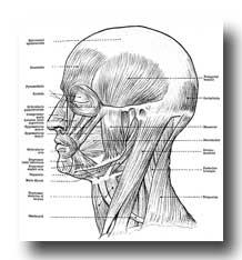 Human Anatomy Muscles - Muscles of the Face, Head, and Neck