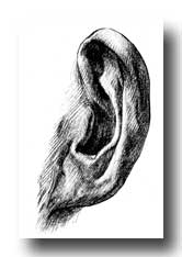 Human Ear - Attached Lobe