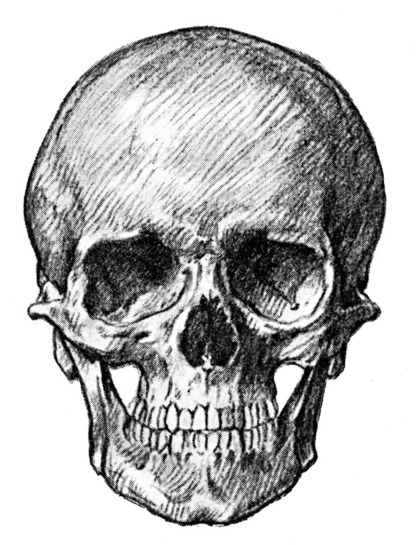 Human Skull Front View Of Adult Skull