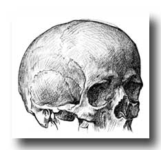 Human Skull - Antero-Lateral View of Adult Skull