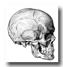 Human Skull - Side View of Adult Skull