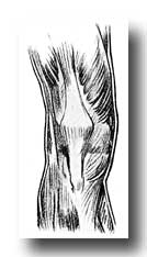 Knee Anatomy - Muscles on the Front of the Right Knee