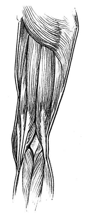 Leg Muscles - Muscles of the Back of the Right Thigh and Popliteal Space