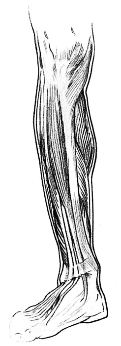 Leg Muscles - The Inner Side of the Right Leg