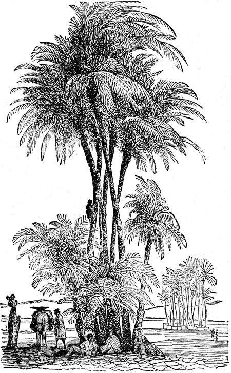 Mesopotamia - Date Palm of the Lower Euphrates