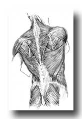 Shoulder Anatomy - The Muscles on the Back of the Trunk, Buttock, and Neck