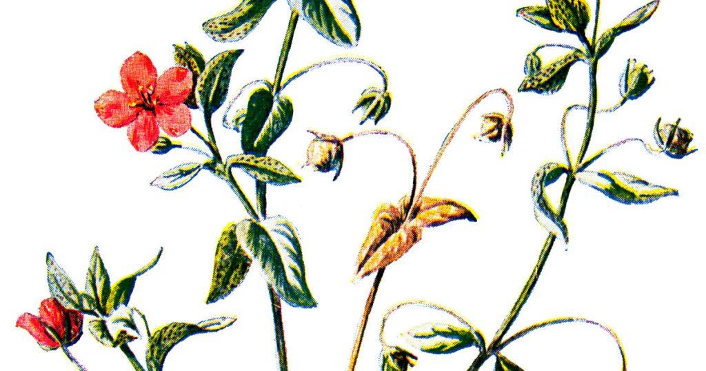 Wildflower Illustrations