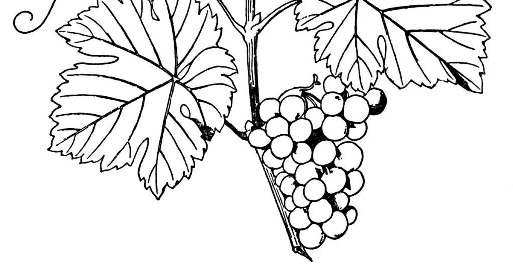 Grape Vine Images