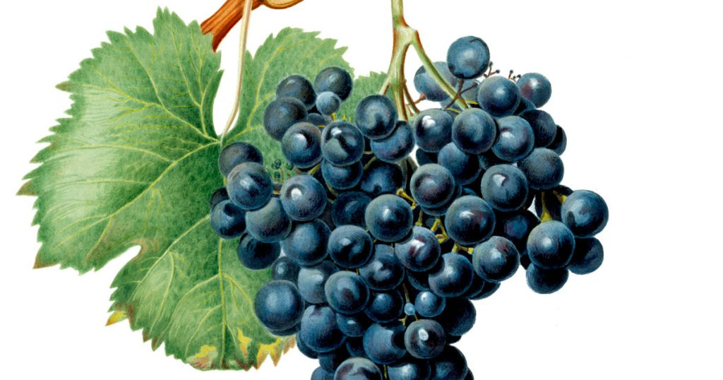 Pictures of Grapes