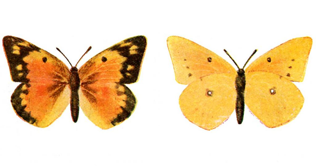 Kinds of Butterflies
