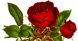 Drawings Of Roses