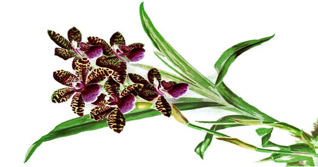 Orchids Clip Art