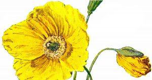 Poppy Flower Images
