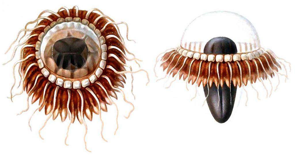 Jellyfish Drawings