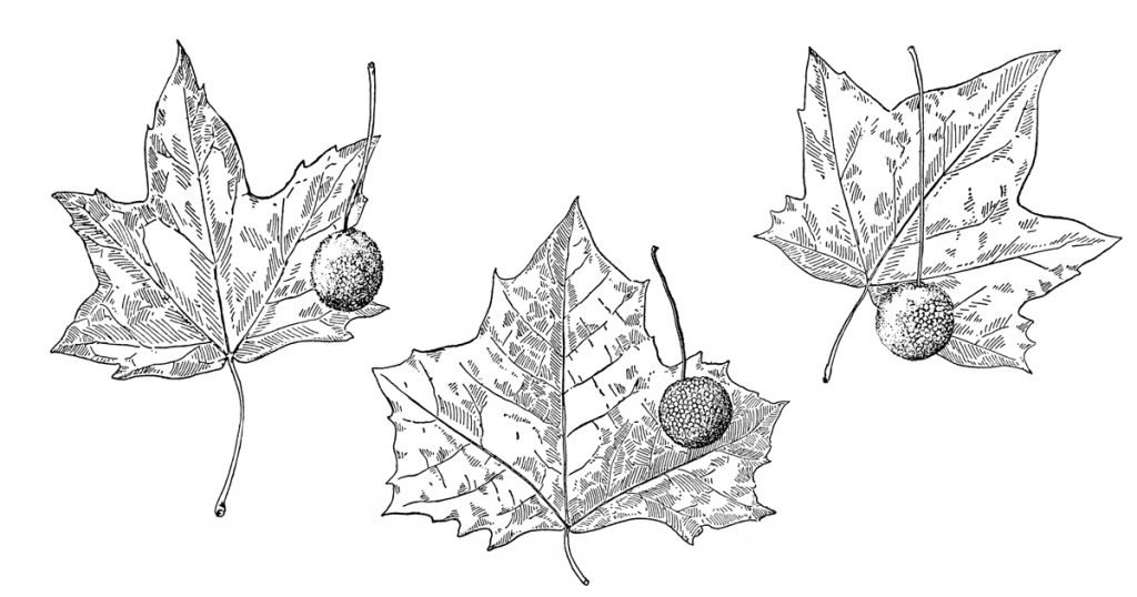 Black And White Leaf Clipart