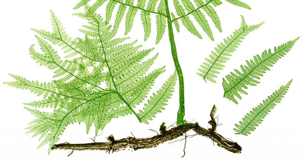 Drawings of Ferns